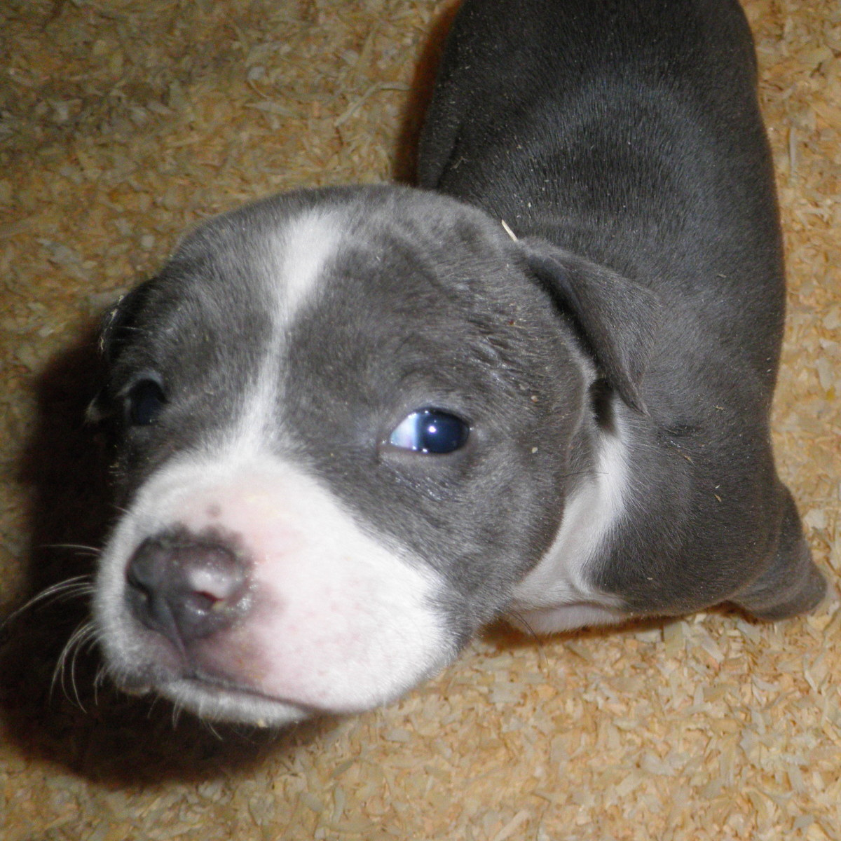 An American Blue-Nose Staffordshire Terrier puppy aka a pit bull dog