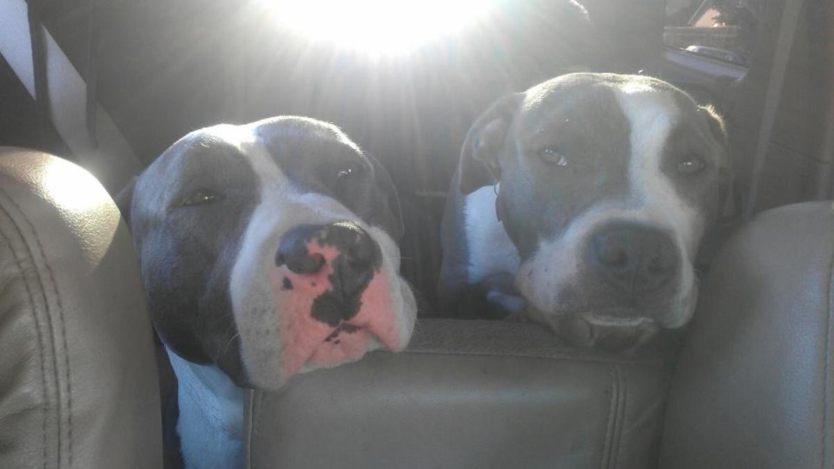 Roxie and Stunna, American Staffordshire Terriers aka Pit Bull Dogs (Blue-nose)