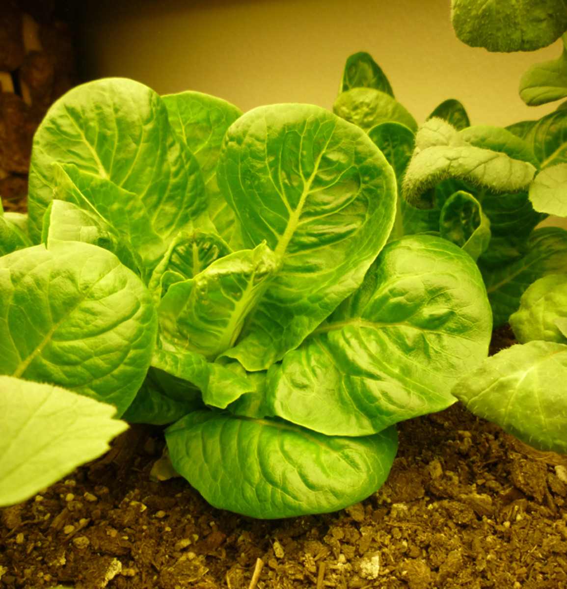 Little Gem Romaine Lettuce. Dark leafy greens are the perfect base for making fish food. Of course, organic homegrown greens are even better!