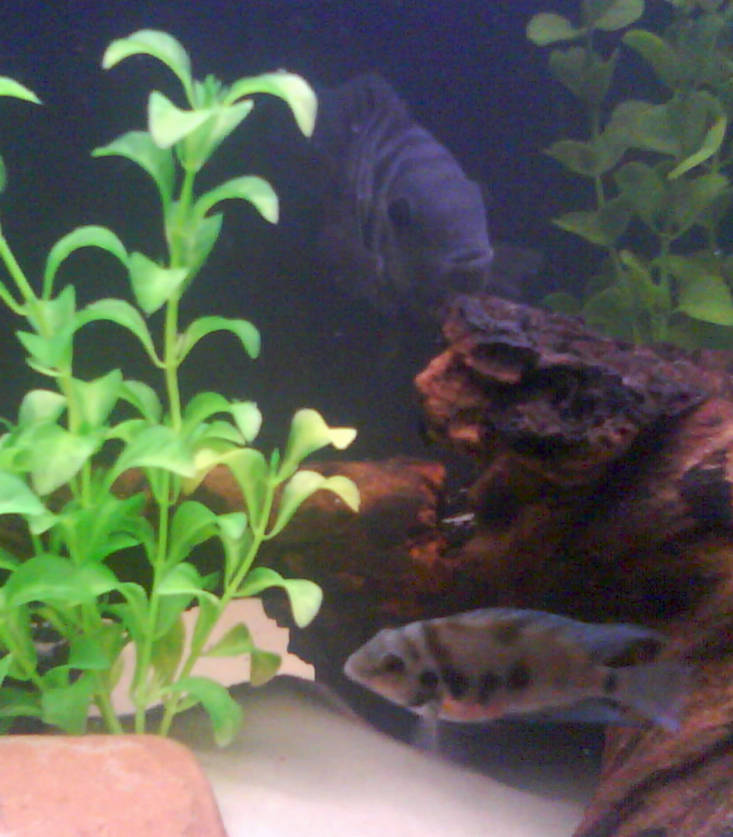 Convict cichlid pair. Although commonly viewed as highly carnivorous, convicts readily eat additions of veggies in their diet.