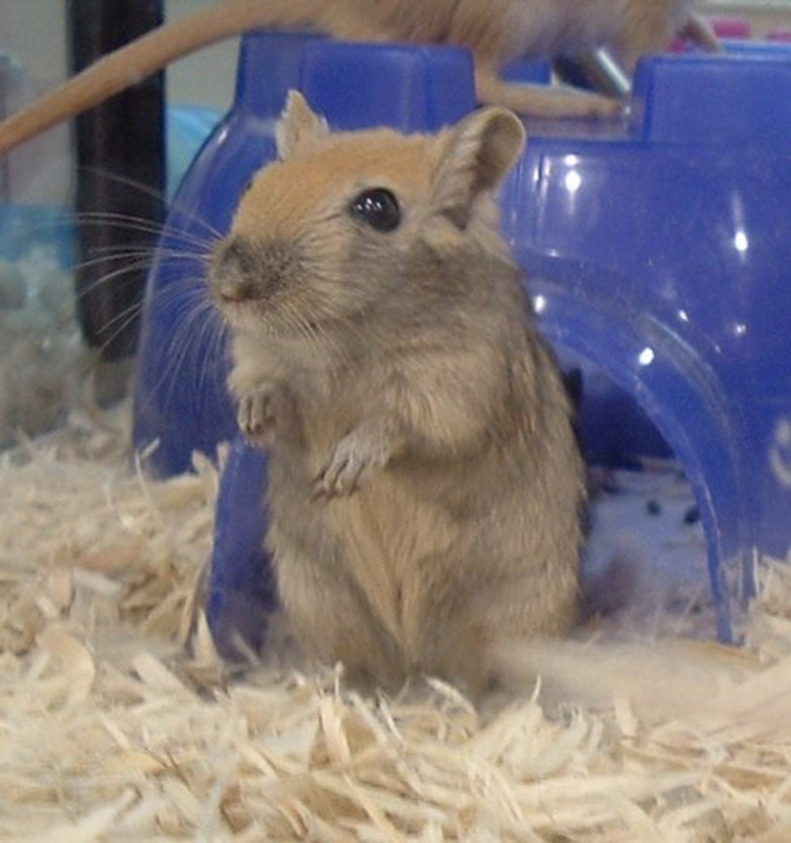 Gerbils are sociable rodents and urinate less than other small pets!