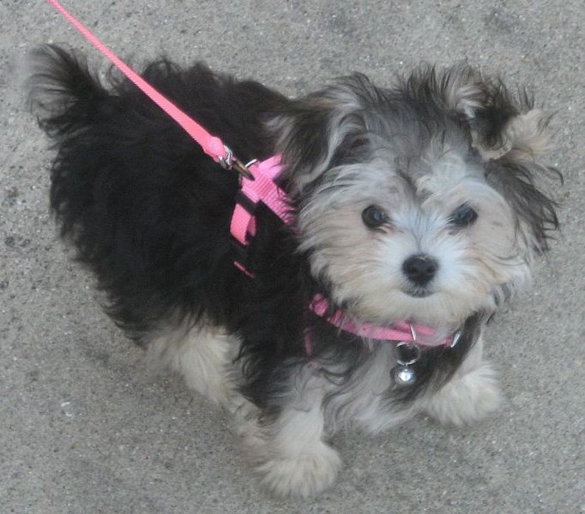 A tiny dog does not pull much on a leash.
