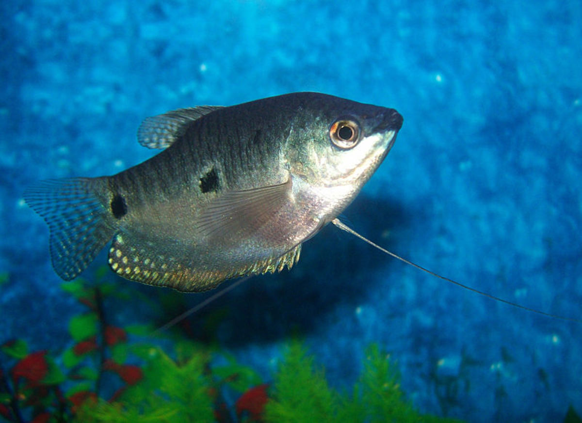 The gourami is considered a semi-aggressive fish species.