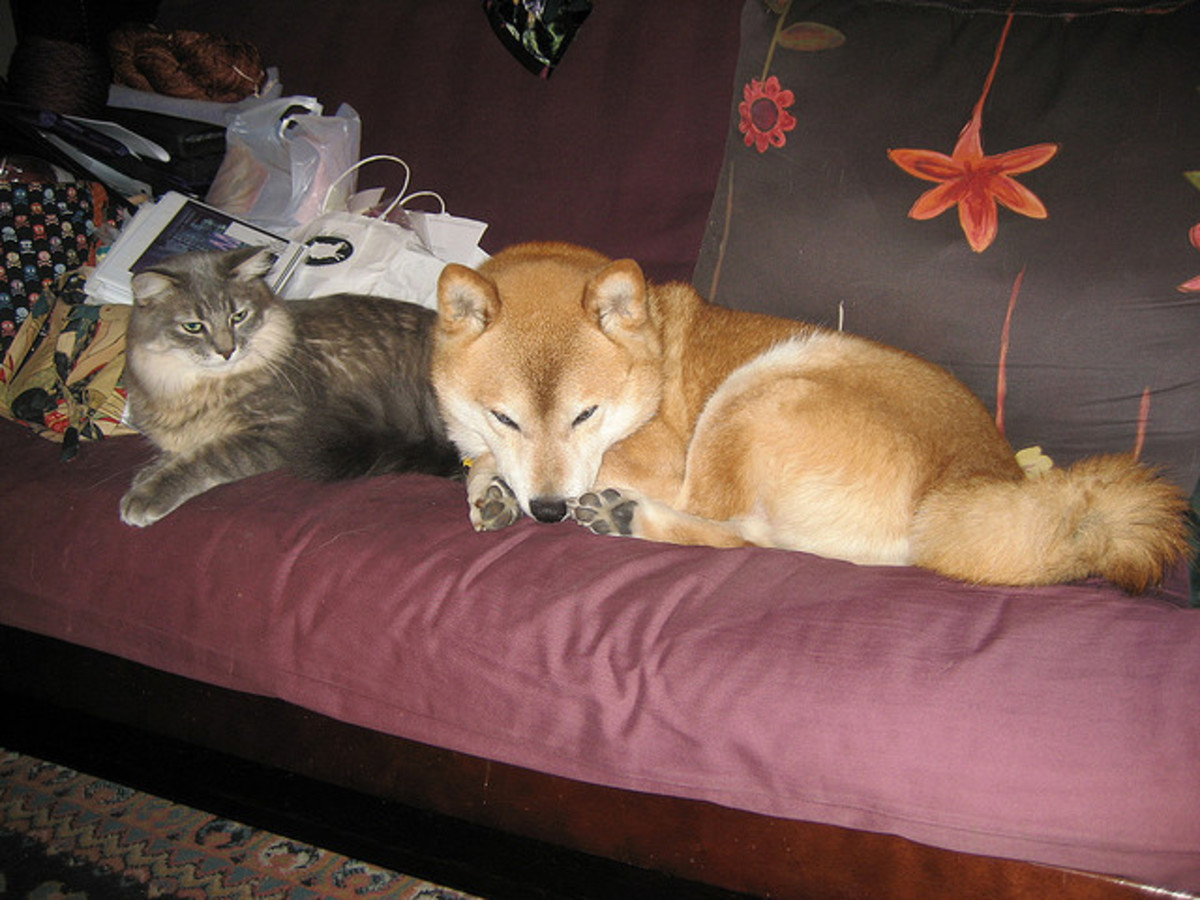 Shiba Inu do well with cats.