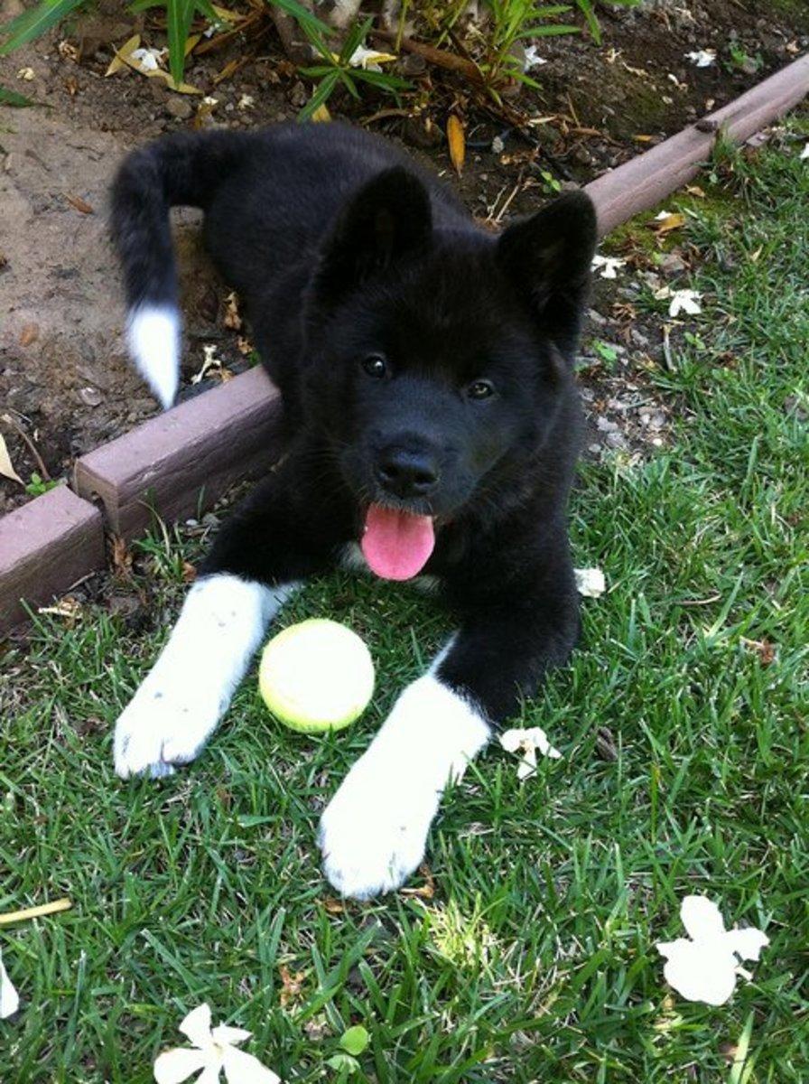 An Akita puppy.