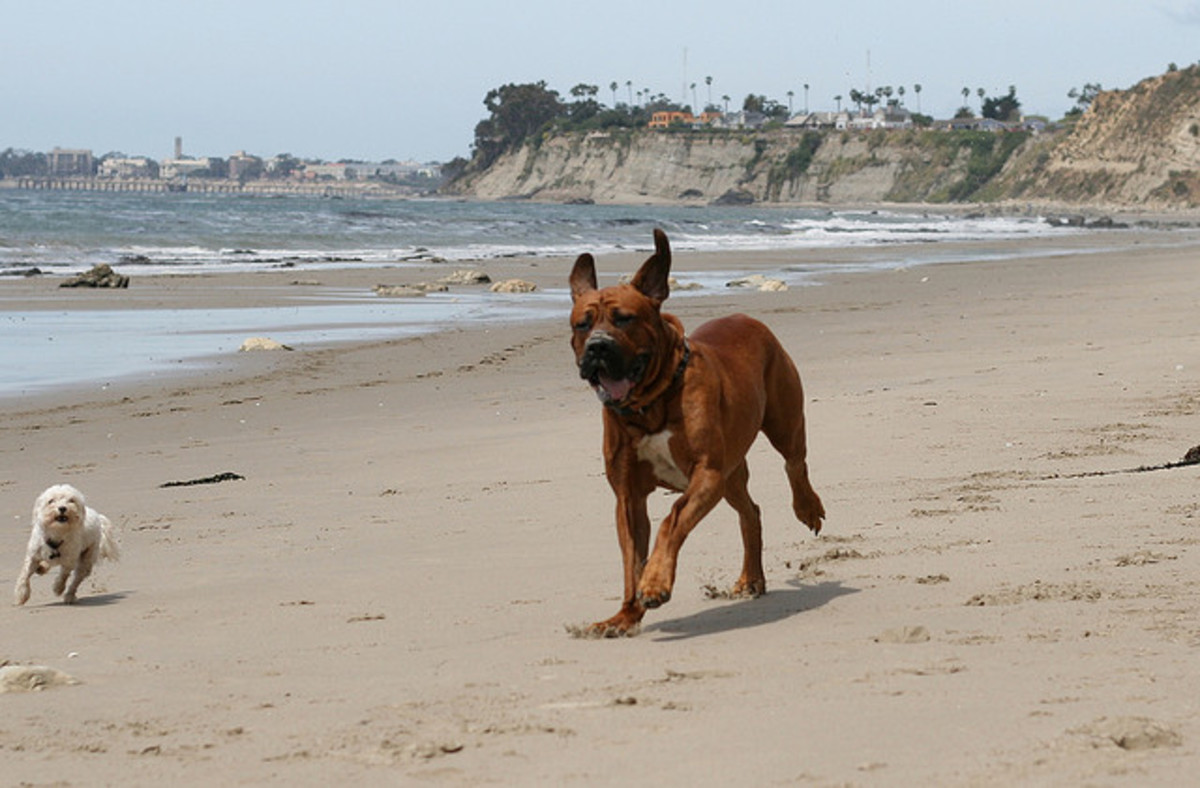 A Tosa Inu running on the beach.