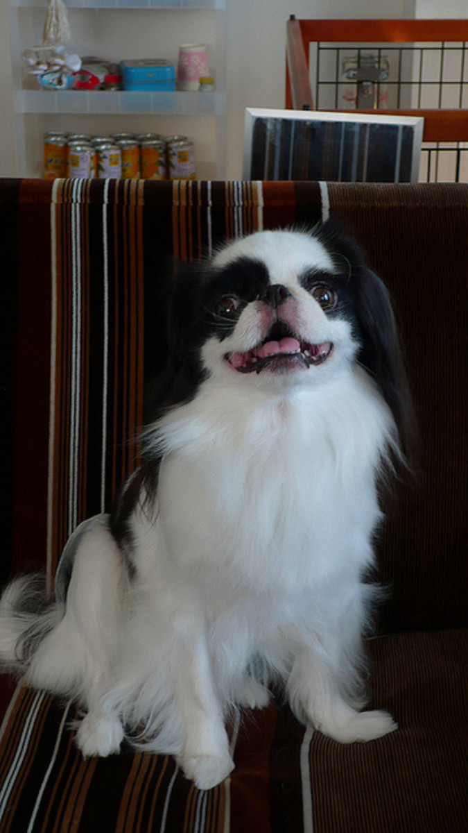 The Japanese Chin is great for apartments too.