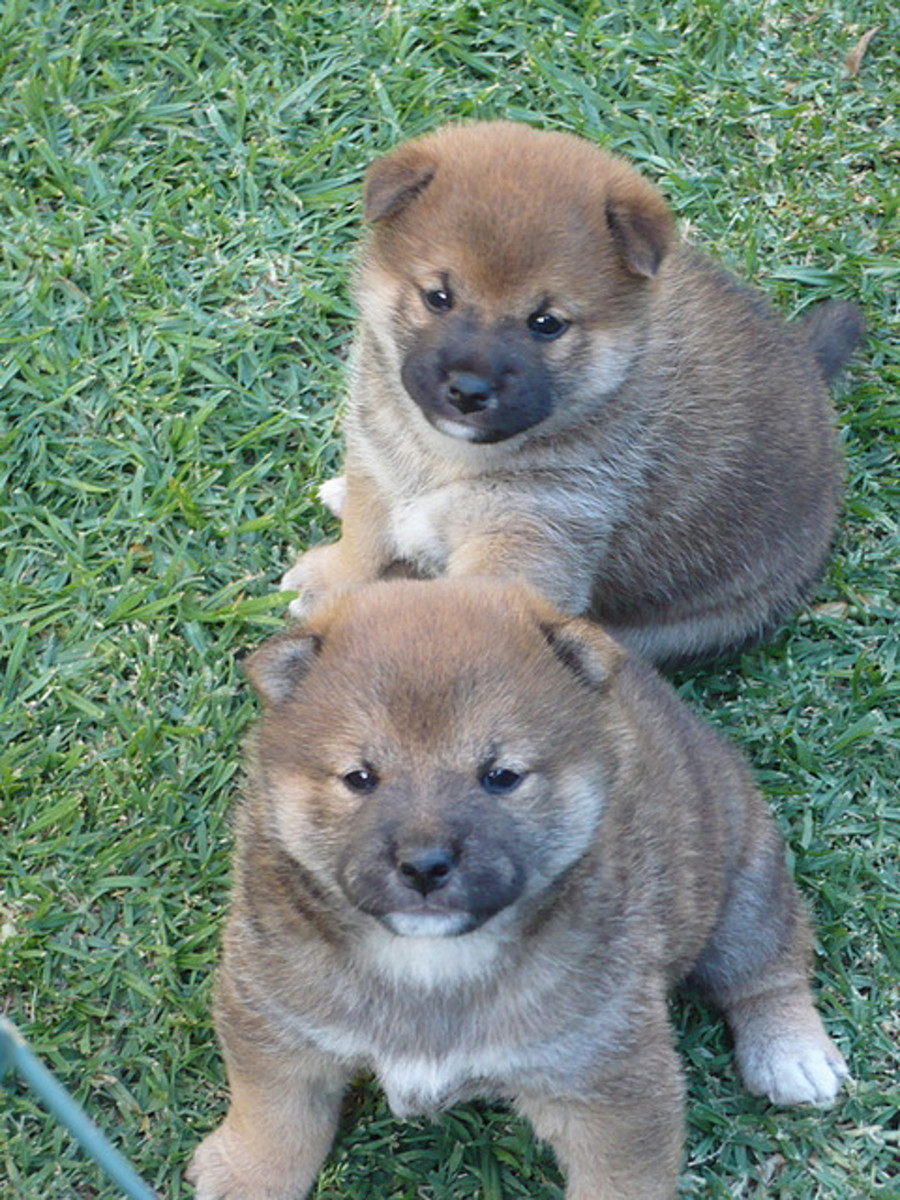 Shiba Inu puppies.