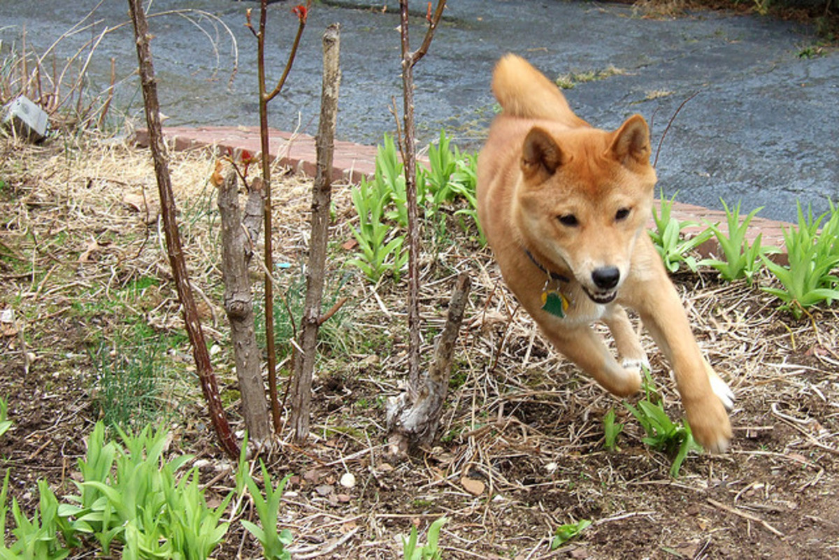 Shiba Inu are small but appreciate getting out.