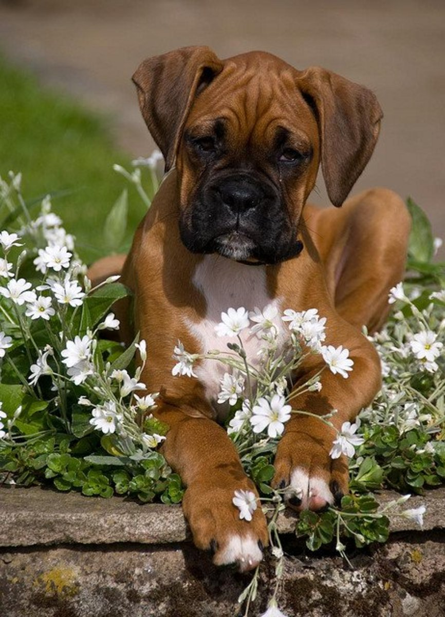The Boxer,although not a giant dog, dies too young.
