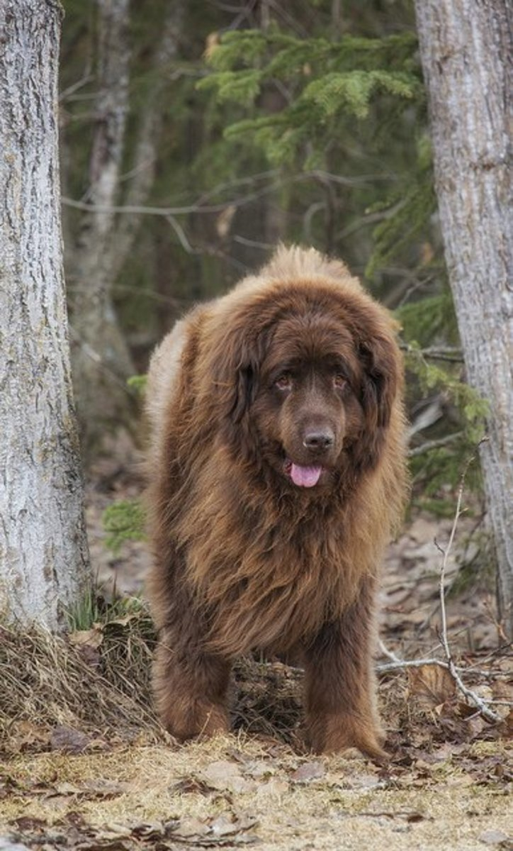 A brown Newfie weighing over 200 pounds.