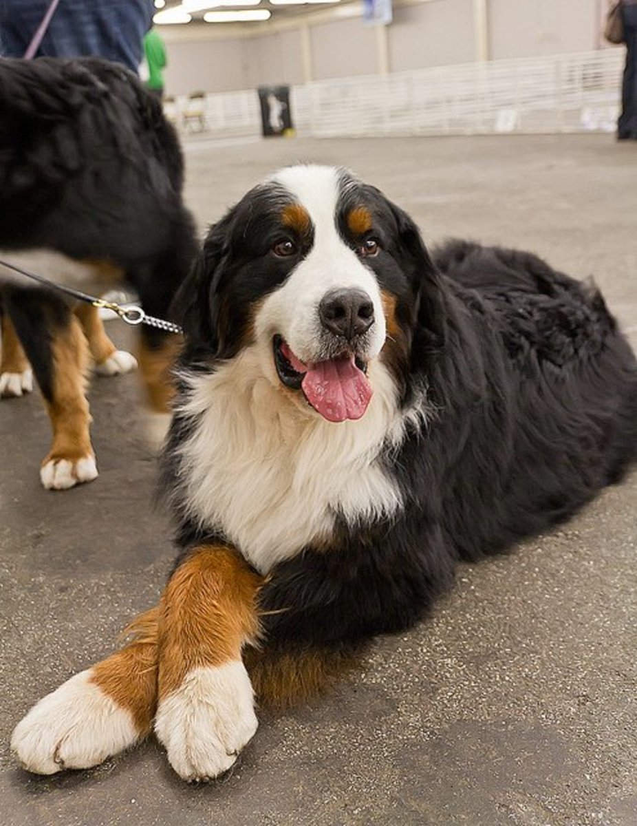 A Bernese calmly waits her turn.