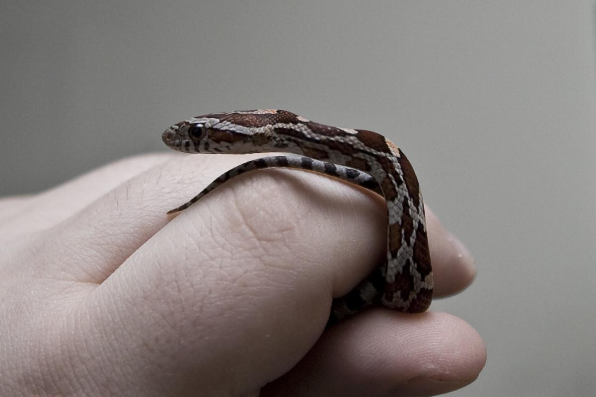 Hatchling. Baby corn snake.