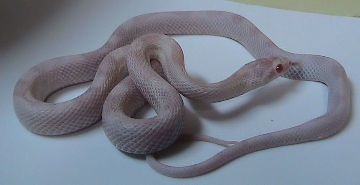 Baby opal corn snake