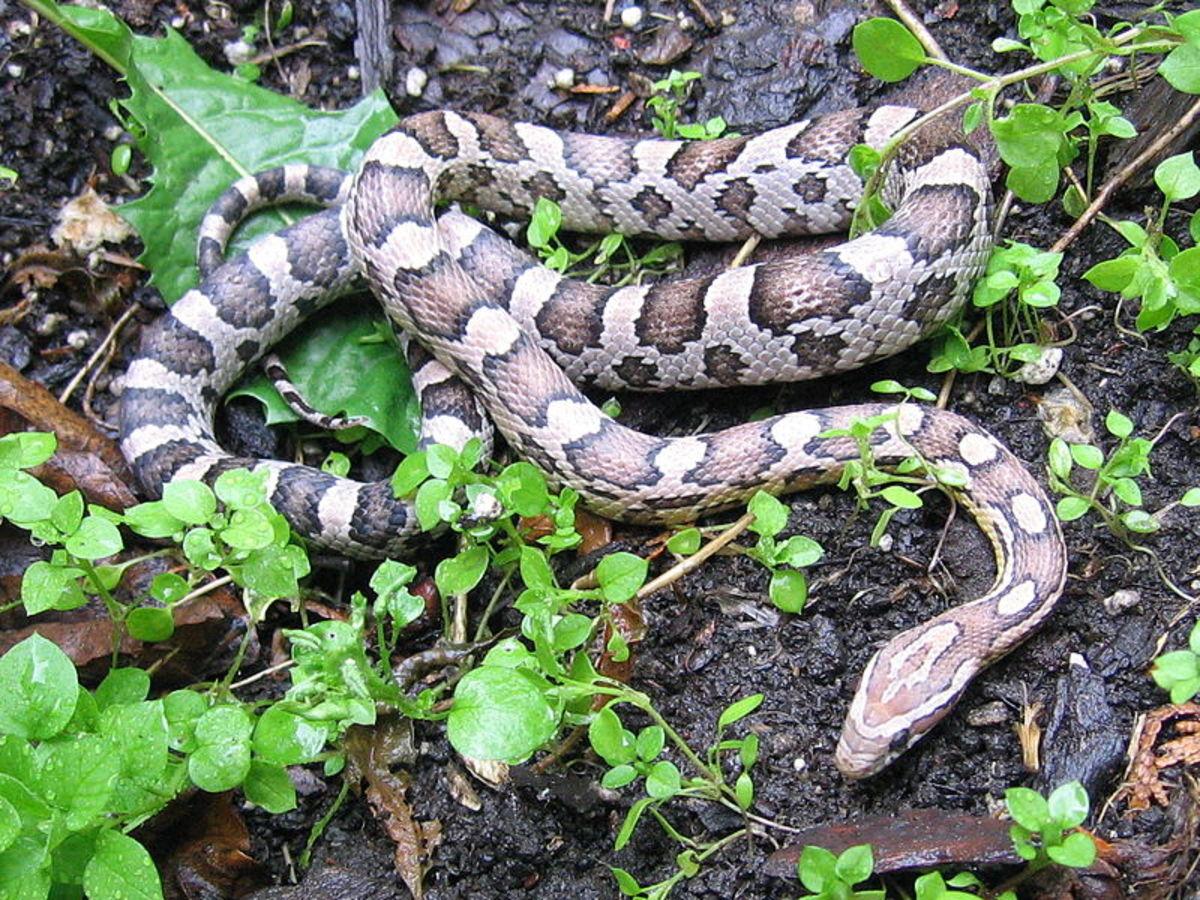 Corn snake in its native habitat.