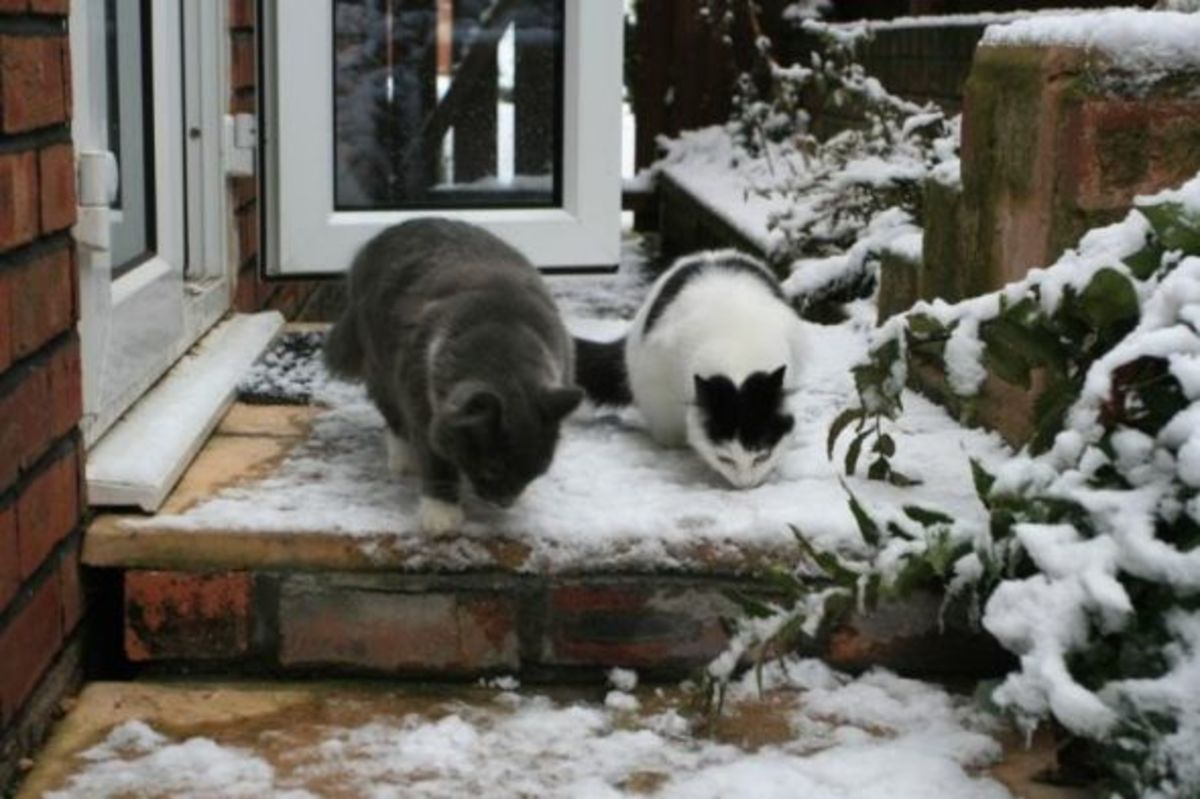 Greebo and his sister Dippy exploring a Christmas step in the snow.