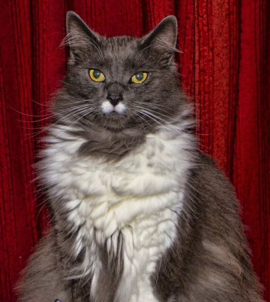 Greebo, who takes after his Maine Coon father.