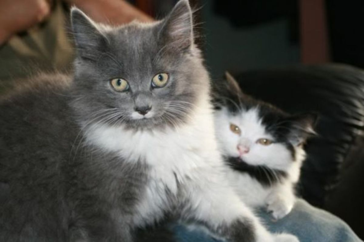 Greebo and Dippy as kittens.