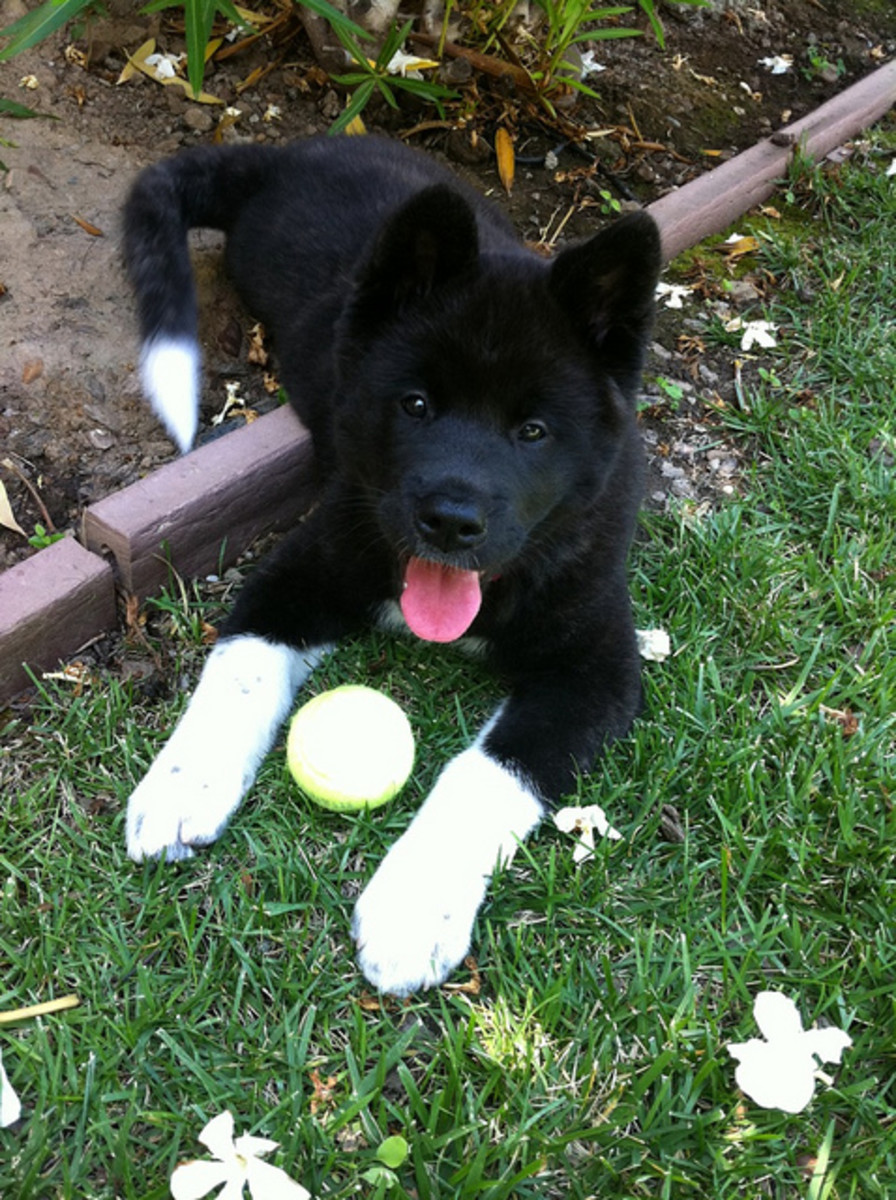 Does every Akita have to have a Japanese name? No, but should he?