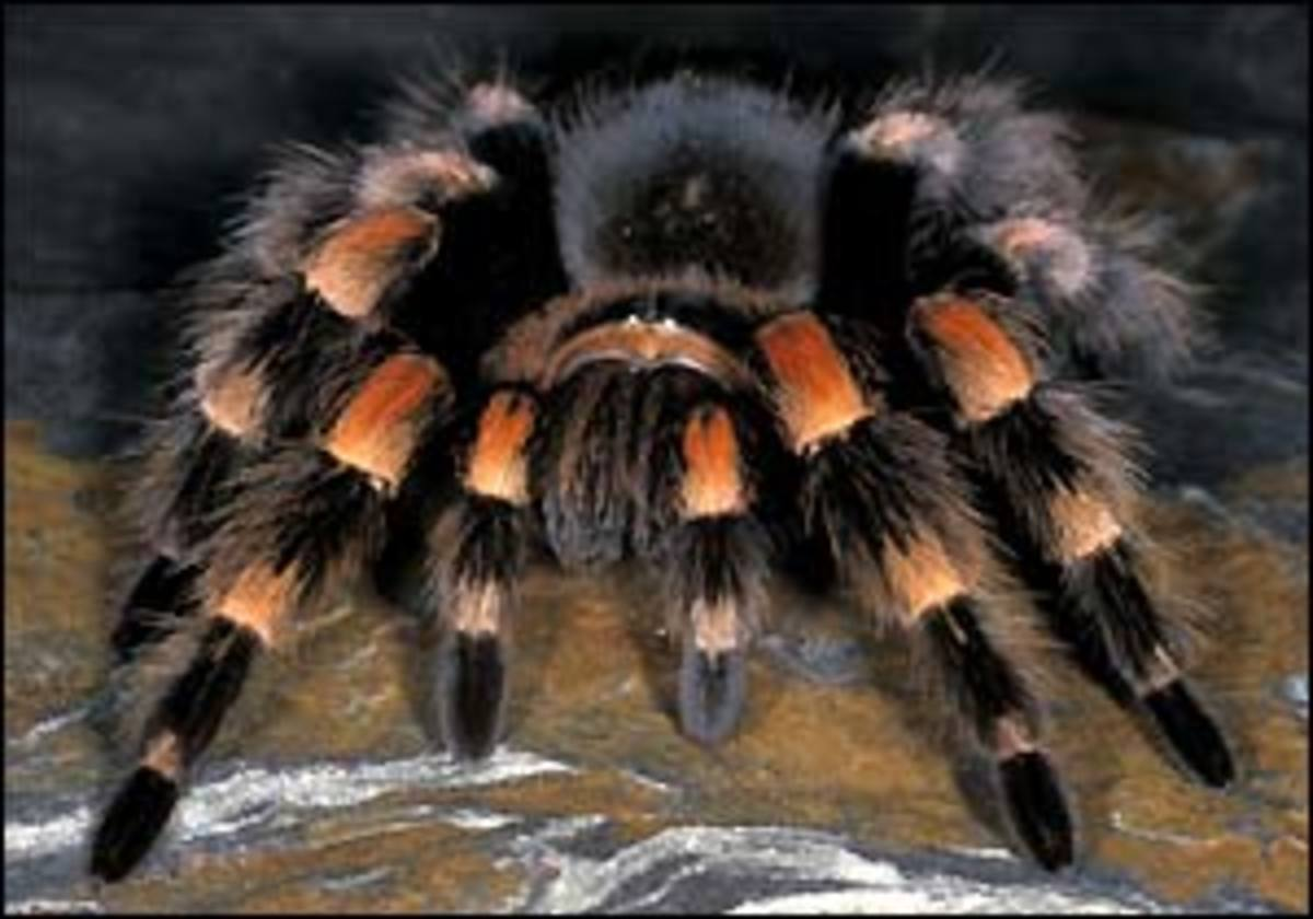 Everything You Want to Know About Keeping Tarantulas as Pets