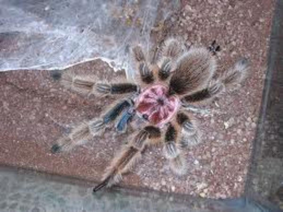 Beautiful Carapace of Rose Hair Tarantula