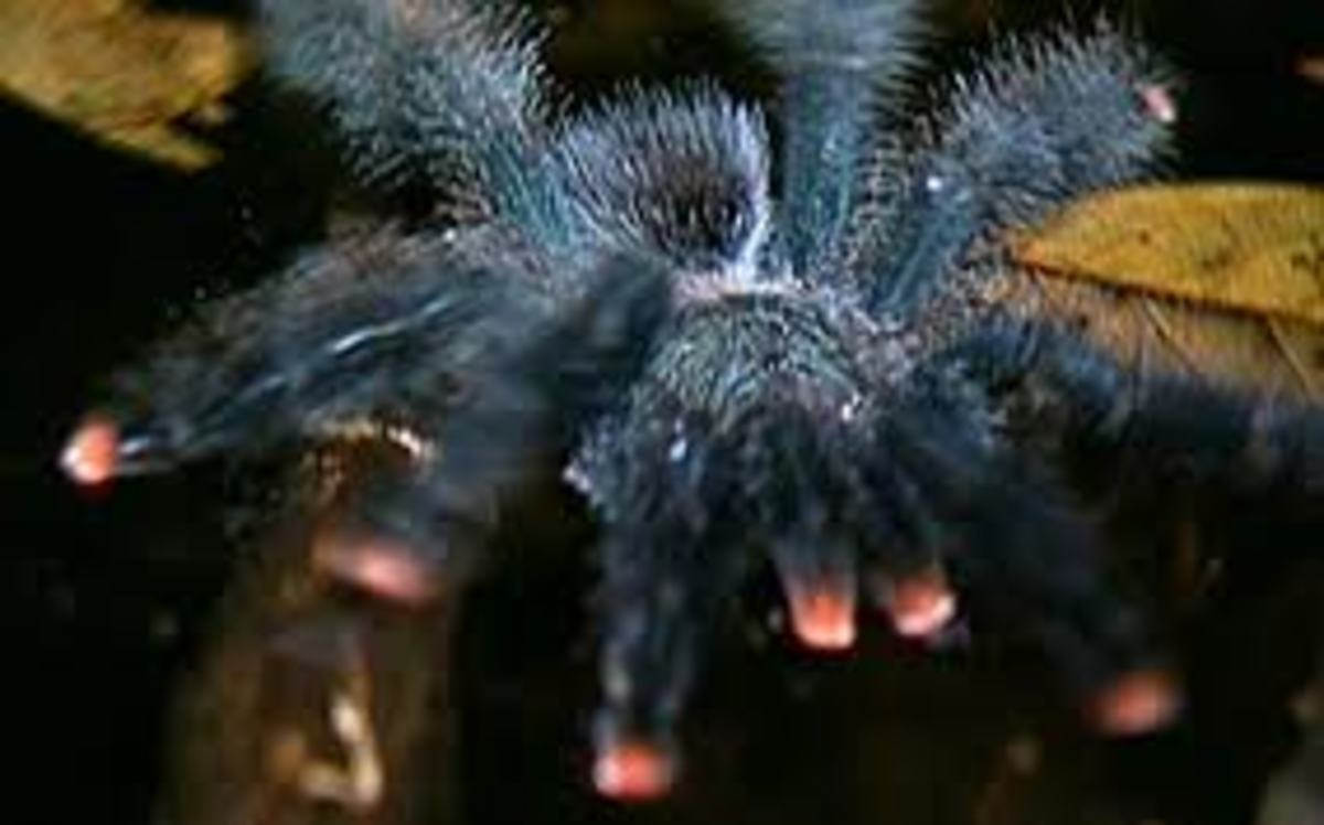 South American Pink Toe Tarantula