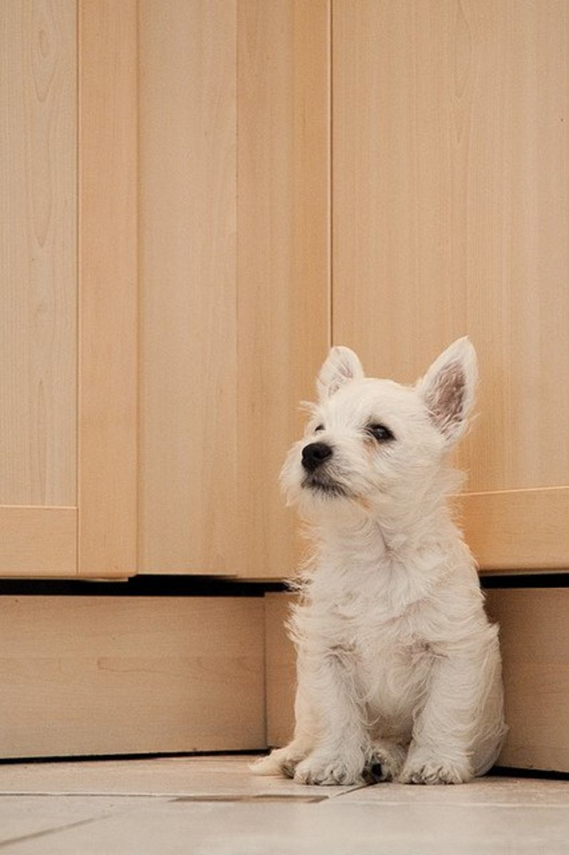 Westies are forced to grow up small and cute.
