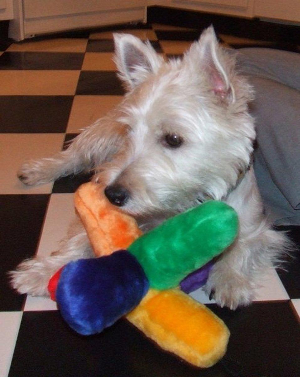 Westies love toys!