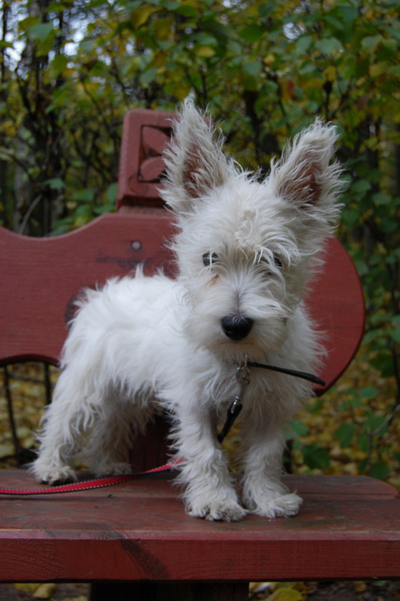 This little Westie lives in Russia. They are popular all over the world.