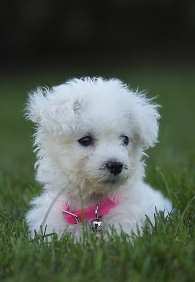 A Bichon puppy looking hypoallergenic.