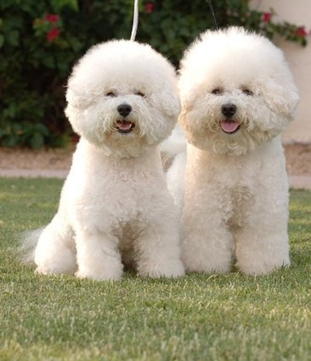 The Bichon Frisé does not have to be clipped like this, but it is cute.