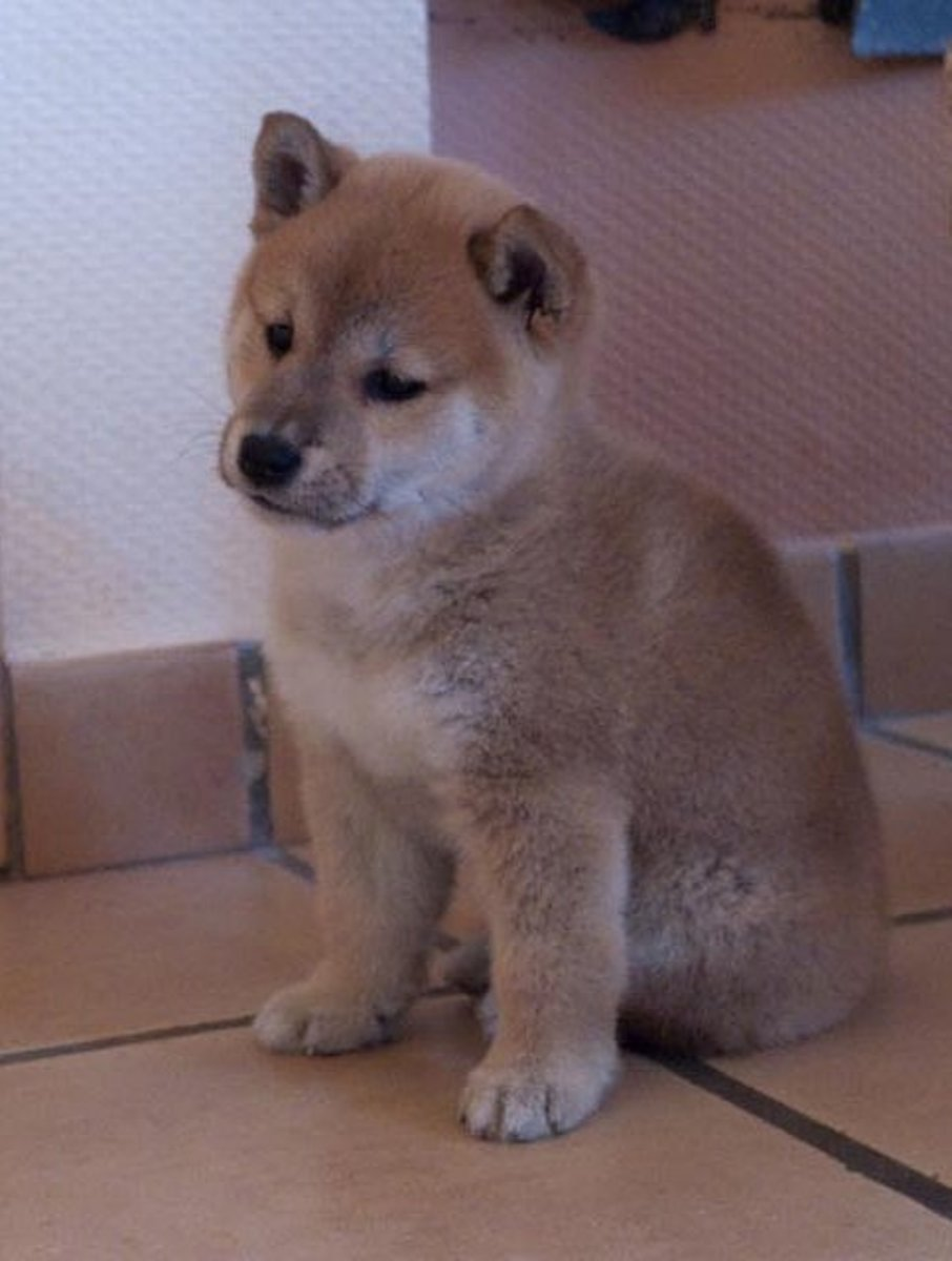 Shiba Inu may not bark much, but they can be very vocal.