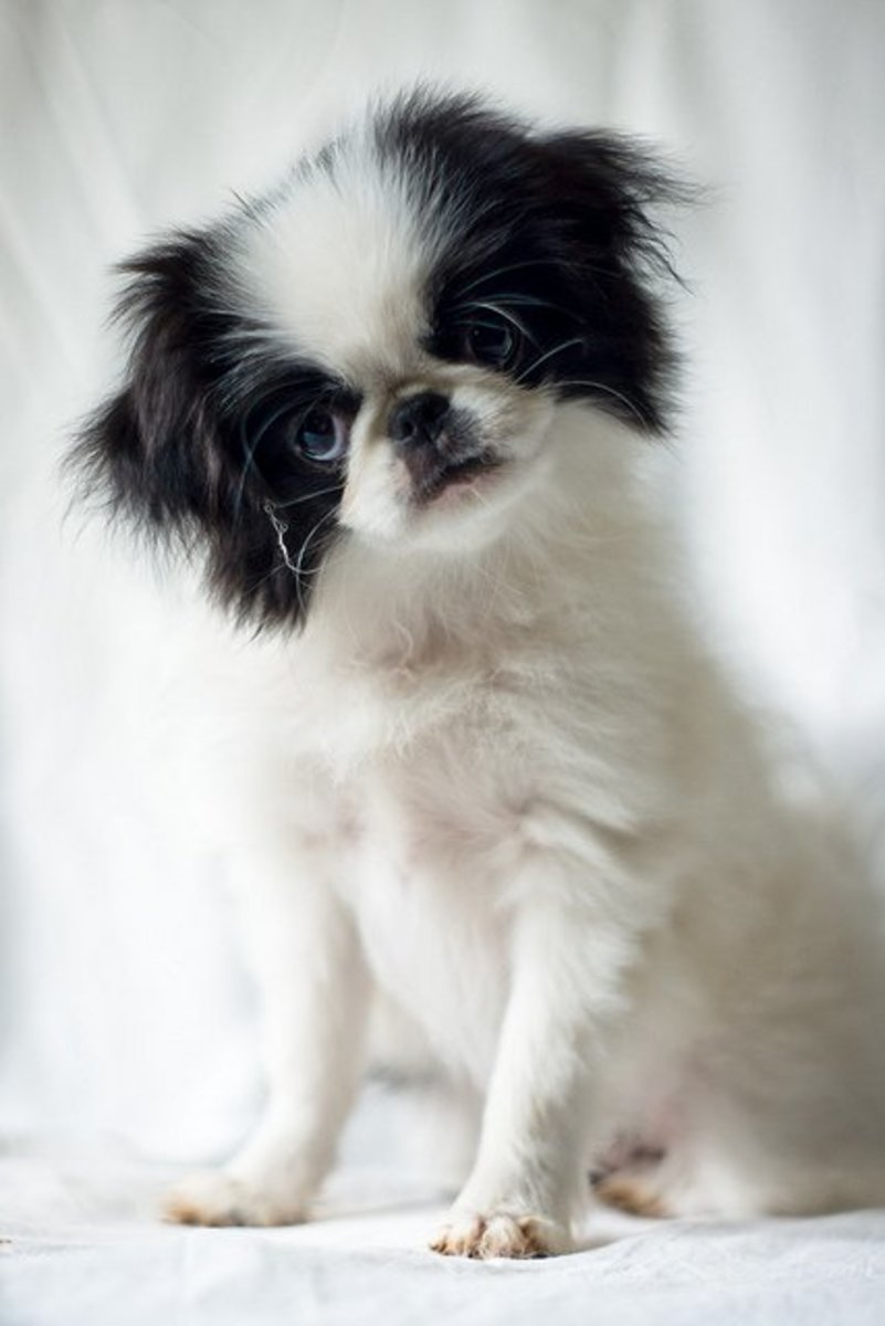 Japanese Chin puppy: Is it confused about its size?
