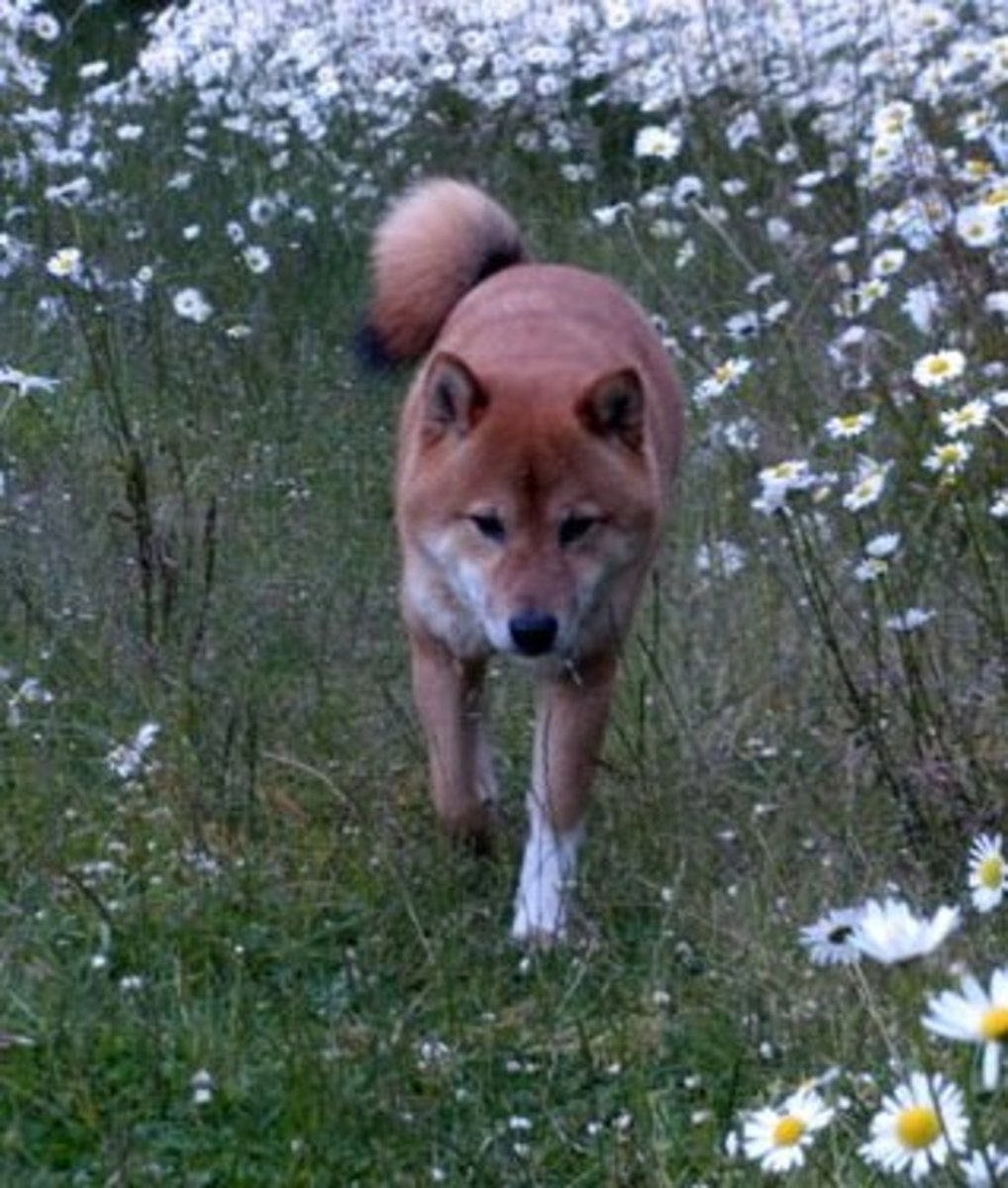 Shiba Inu are great in an apartment and look really good walking outside.