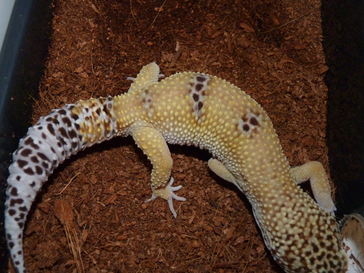 You can compare it to a leopard gecko that has an original tail. The grooves (rings) go all the way down the tail to the tip and has a different shape and is not bulbous (this is not the same gecko as the one above, this is one of my geckos)