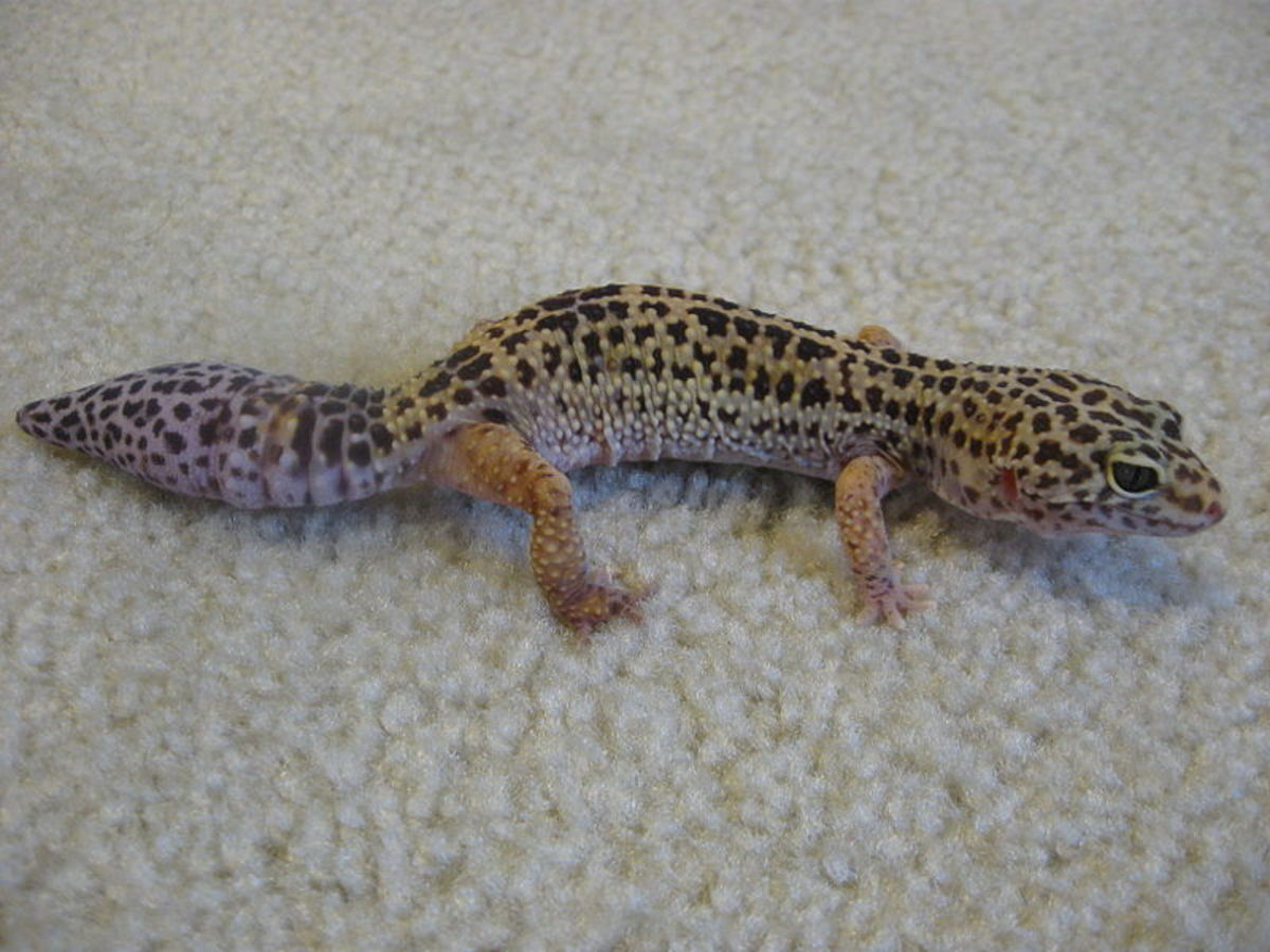 This is a leopard gecko that has dropped part of its tail. You can tell the tail is regenerated (even though it looks similar to the original tail) because of the lack of grooves (rings) around the bottom of the tail.