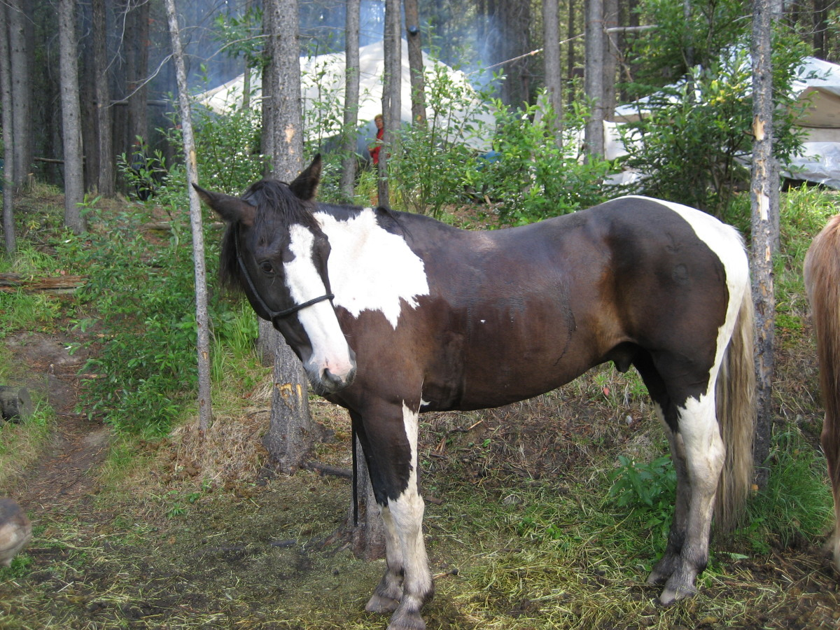 Horse Disease Focus - Overo Lethal White Syndrome