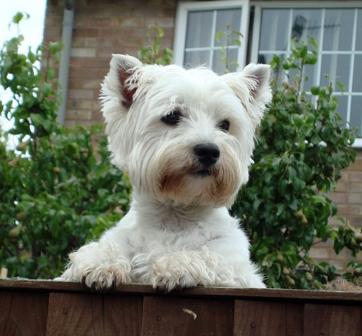 This Westie wants to know what is going on over there.