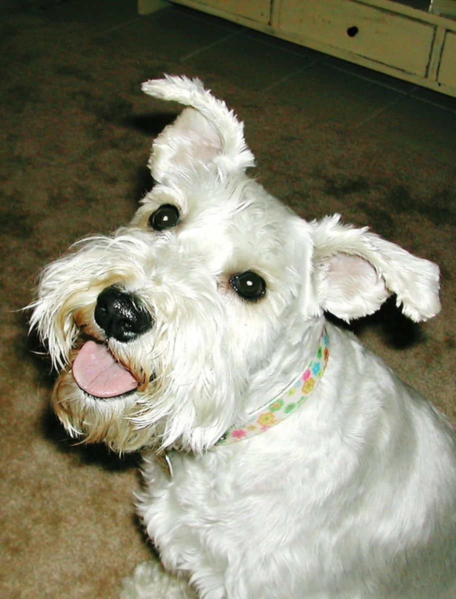 White Miniature Schnauzers are really cute.