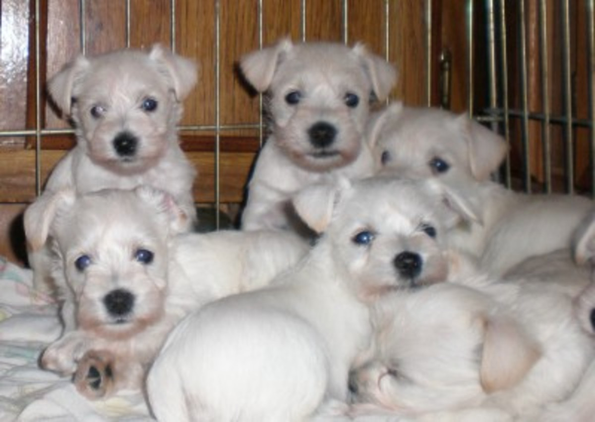 A litter of white Miniature Schnauzers.