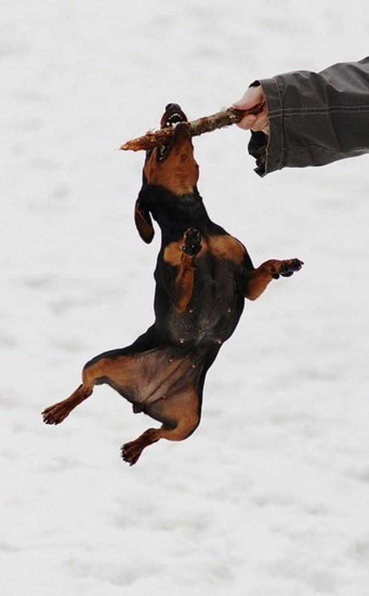 Miniature Pinshcer jumping.