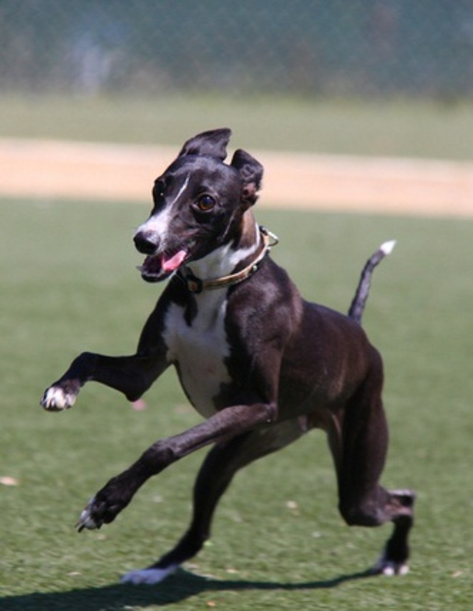 An ItalianGreyhound running.