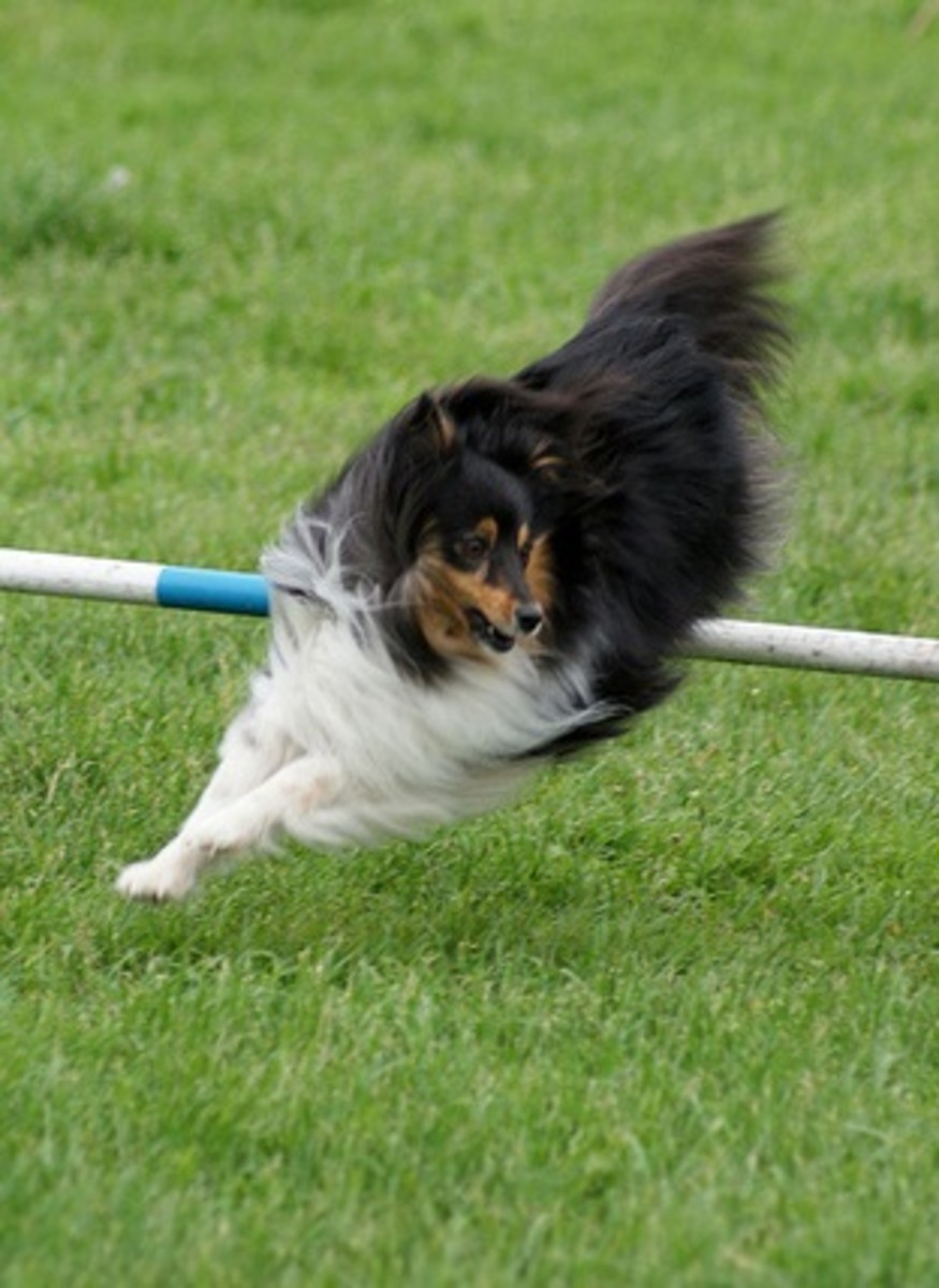 An athletic Sheltie likes to perform.