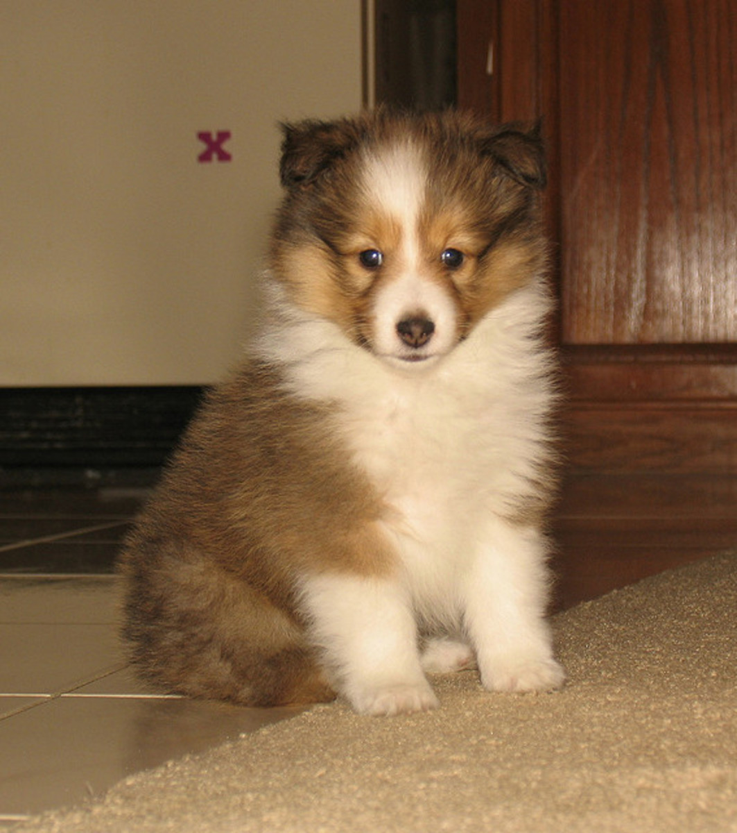 A Sheltie puppy.