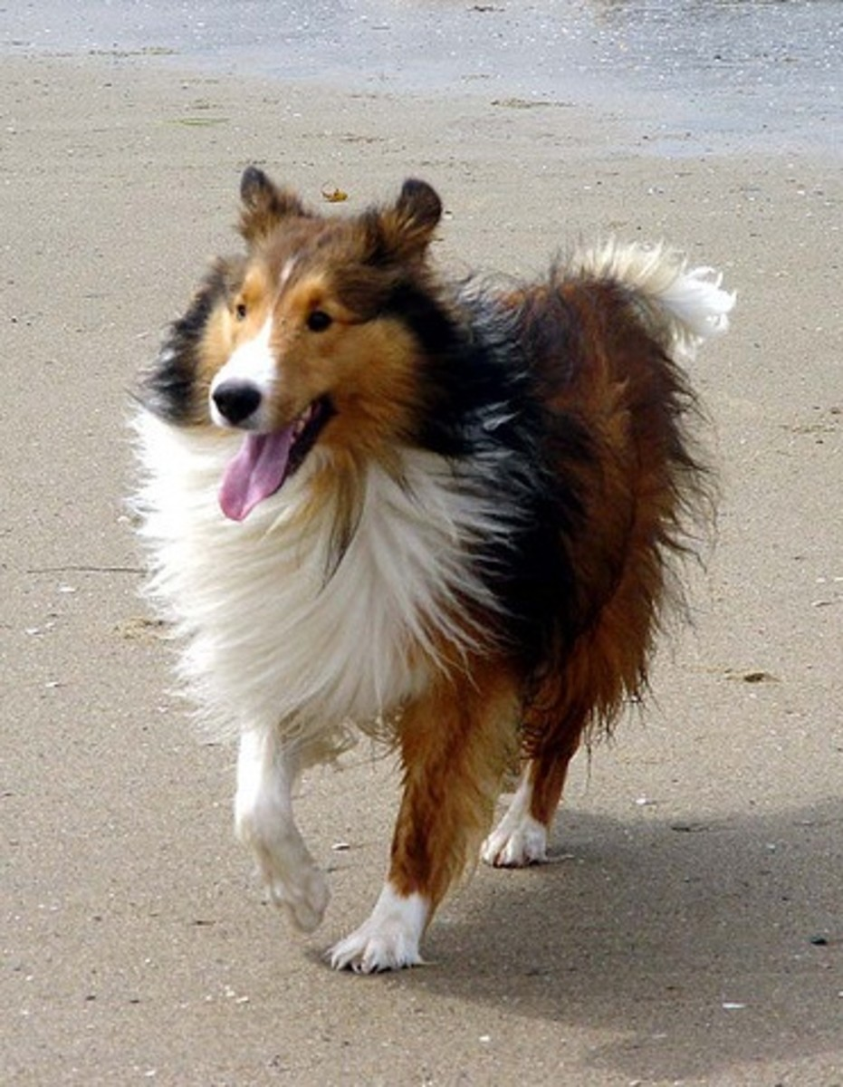 An adult Sheltie on the beach.