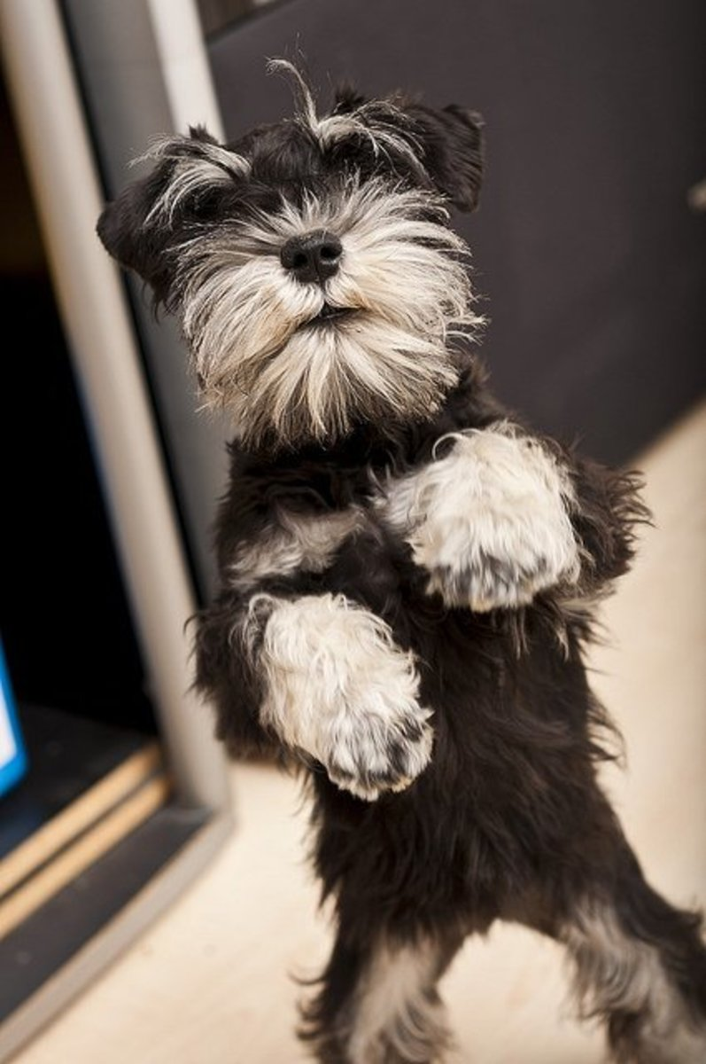 A young Miniature Schnauzer asking for food.