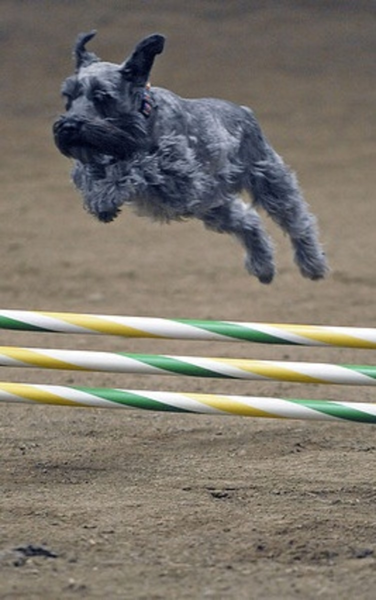 Miniature Schnauzers are great at agility.