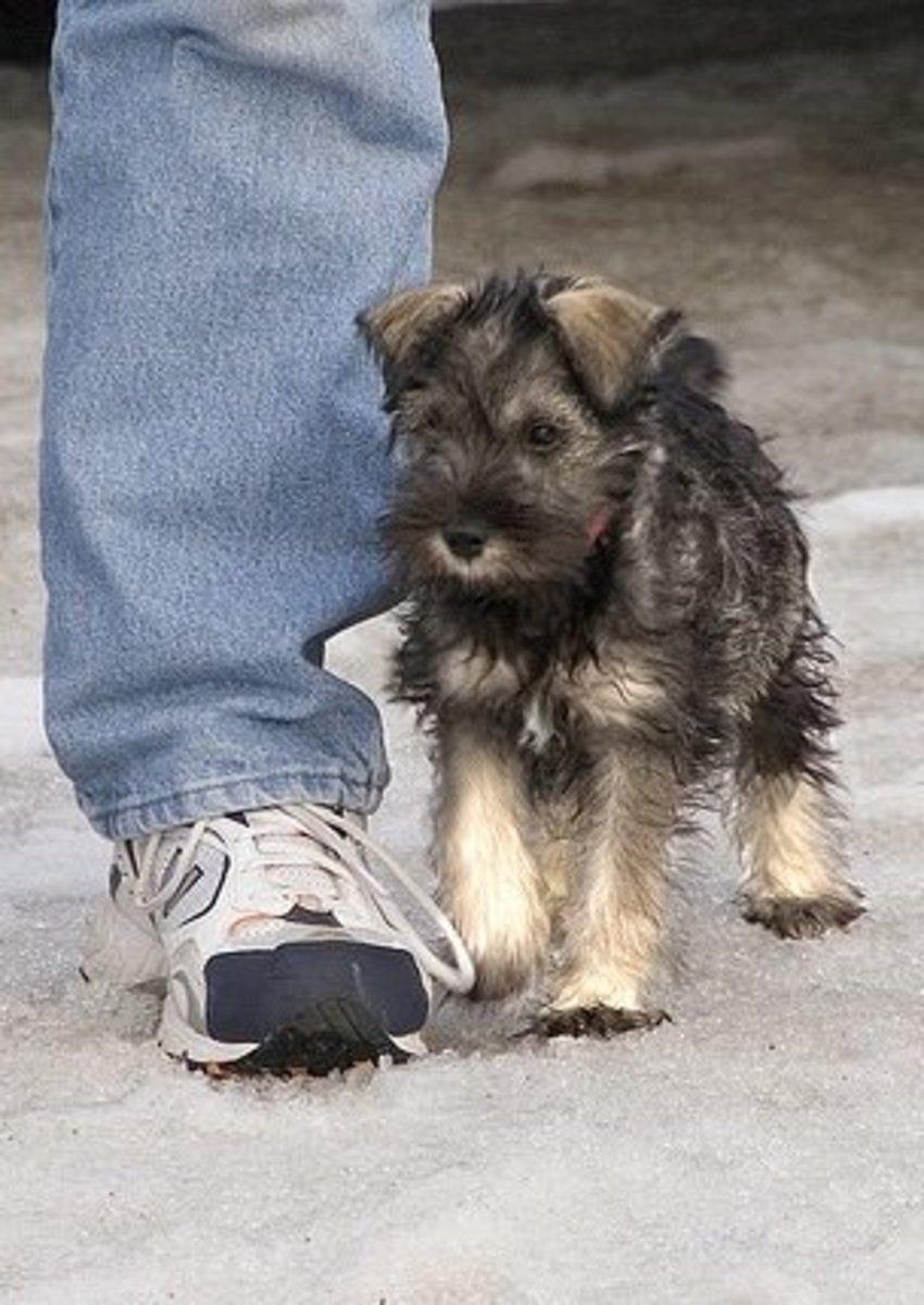 A Miniature Schnauzer puppy.