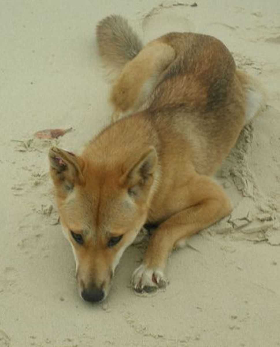 Some dingoes look similar to Pariah dogs in India.