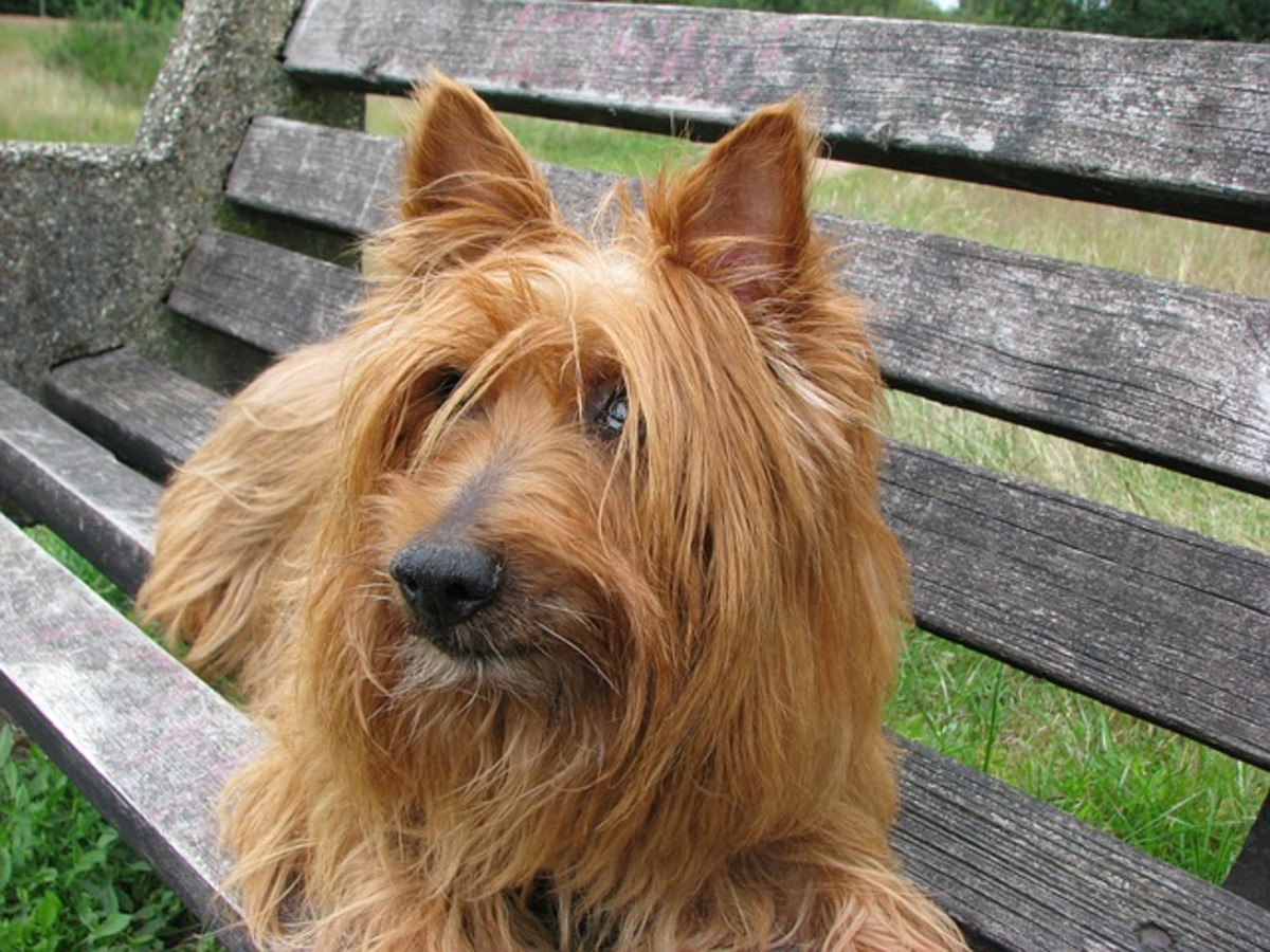 An Australian Silky Terrier.